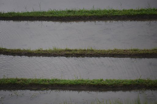 Rice, Rice Field, Irrigation, Transplanting Rice