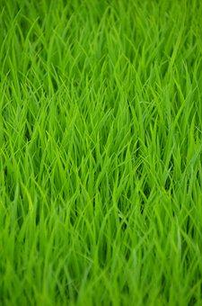 Green, Rice, Rice Field, Shoots, Transplanting Rice