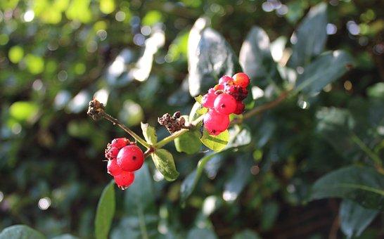 Honeysuckle, Red, Berries, Fruit, Sunshine, Sunny