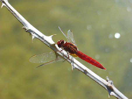 Red Dragonfly, Branch, Thorns, Wetland, Pond