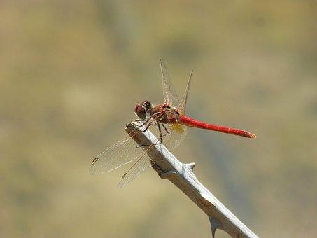 Red Dragonfly, Branch, Thorns, Sympetrum Sinaiticum