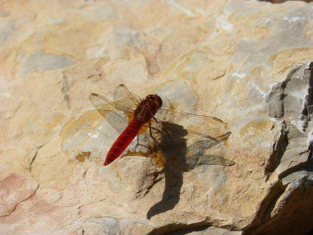Red Dragonfly, Reflection, Dragonfly, Trithemis Kirbyi