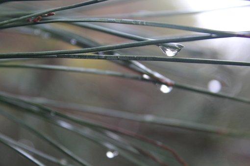 Dewdrop, Autumn, Wet, Outdoor, Pine Needle, Nature