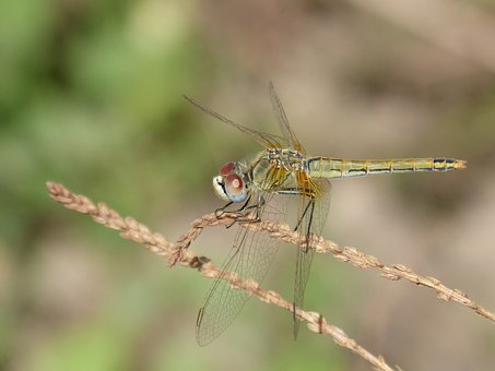Yellow Dragonfly, Dragonfly, Sympetrum Fonscolombii