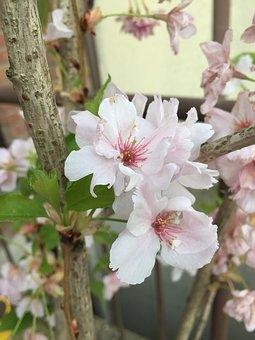 Sakura, Cherry Blossom, Japan, Close