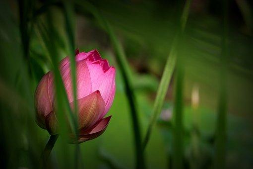 China, Flower, Lotus