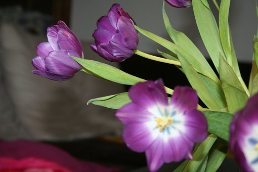 Tulip, Purple, Stamp, Flowers, Close, Violet