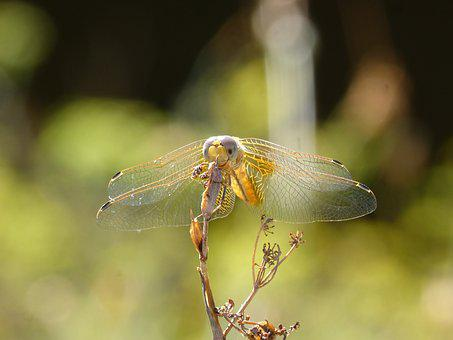 Yellow Dragonfly, Dragonfly, Dried Plant, Greenery