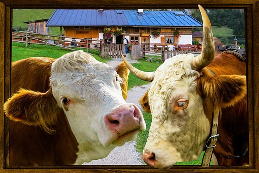 Nature, Animals, Cow, Bull, Farm, Agriculture, Window