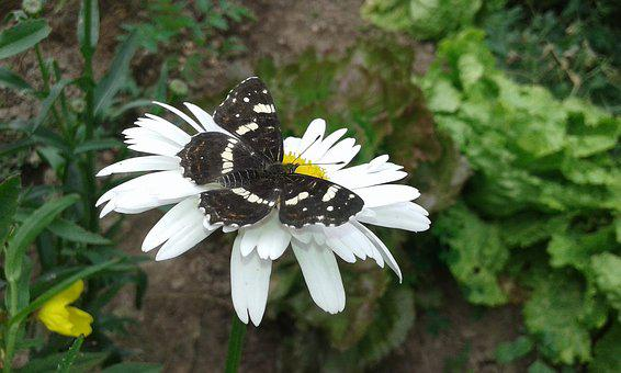 Butterfly, Animal, Flower, Nature, Insect, Wing, White