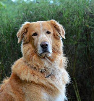 Dog, Golden Retriever, Animal, Domestic Animal, Pet
