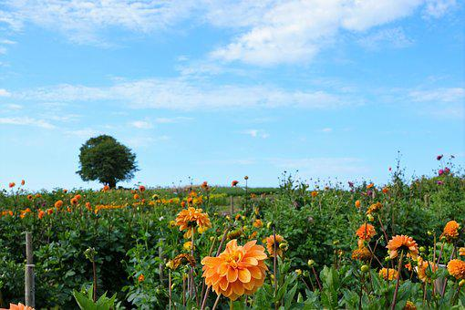 Meadow, Field, Garden, Park, Dahlia, Bee, Honey, Eat