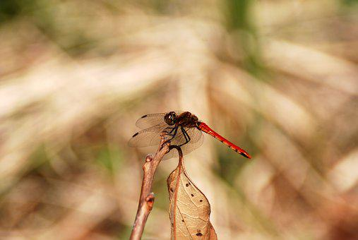 Dragonfly, Bug, Insect, Nature, Animal, Wildlife, Wing
