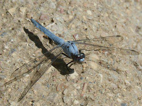 Blue Dragonfly, Dragonfly, Insect Winged Detail