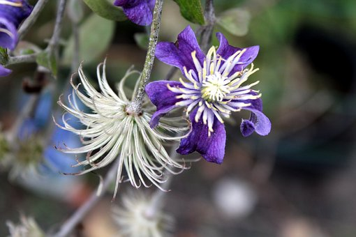 Clematis, Ornamental Plants, Plant A Garden, Nature