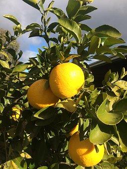 Oranges, Fruit, Sunshine, Food, Citrus, Fresh, Healthy