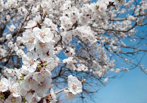 Flowers, Petals, Flowering Tree, White Flowers, Stamens
