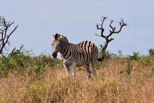 Zebra, South Africa, M, Park, Wildlife, Nature, Plains