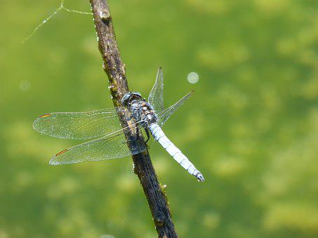 Blue Dragonfly, Dragonfly, Branch, Greenery, Pond