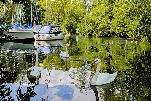 Swans, Swan, Water, Animals, Reflection