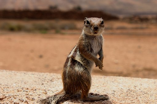 Squirrel, Rodent, Animals, Animal, Nature, Tail, Hairy