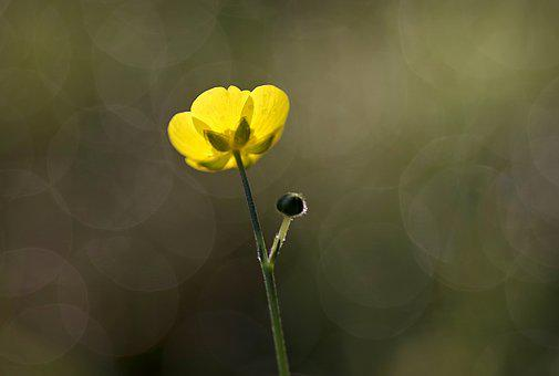 Buttercup, Yellow, Flower, Tiny, The Petals, Green