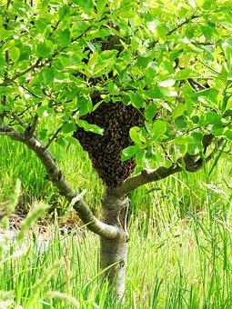 Swarm, Plum Tree, Bees, Honeybees, Spring, Tree, Plum