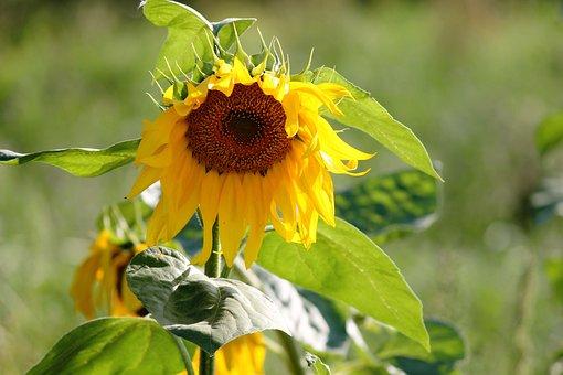 Sun Flower, Wild, Yellow, Blossom, Bloom, Summer Flower