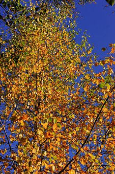 Late Autumn, Birch, Leaves, Colorful, Tree, Nature
