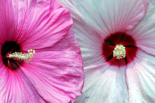 Hibiscus, Flower, Floral, Pink, White, Tropical, Bloom