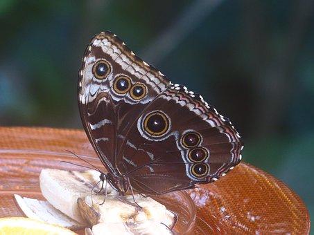 Butterfly, Blue Morphofalter, Morpho Peleides