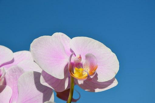 Blue Sky, Rose Orchids, Rose Flower