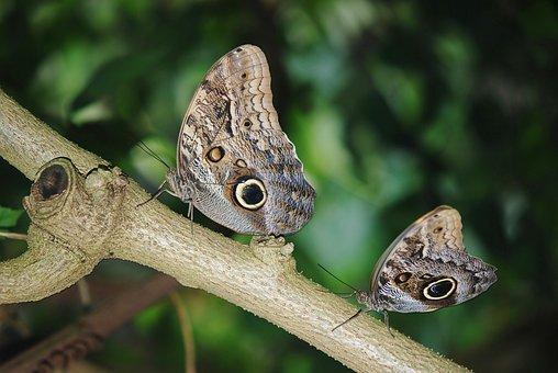 Calipo Eruriloctuin, Morpho Peleides, Branch, Limb