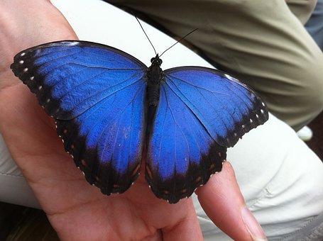 Butterfly, Bug, Nature, Morpho Peleides, Family