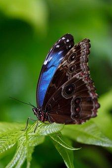 Animal, Beautiful, Blue Morpho, Morpho Peleides