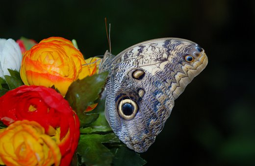 Morpho Peleides, Blue, Butterfly, Flower, Insect
