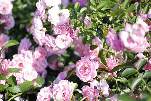 Pink, Roses, Flowers, The Buds, Bush, Rose, Flower