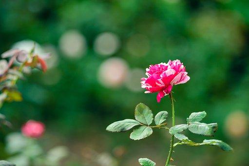 Rose, Natural, Rose Garden, Plant, Flowers, Pink, Japan