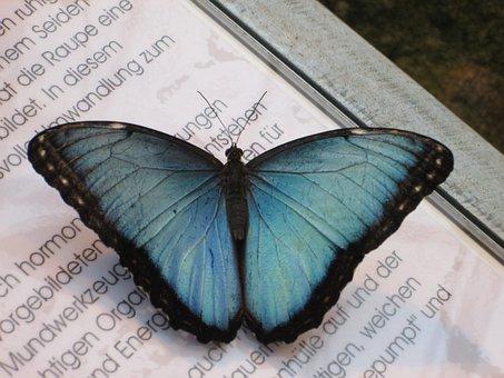 Blue Morphofalter, Morpho Peleides, Sky Butterfly