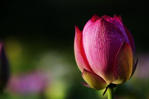 Zhejiang, Wuyi, Xuan Lian, Lotus, Pond, Flower