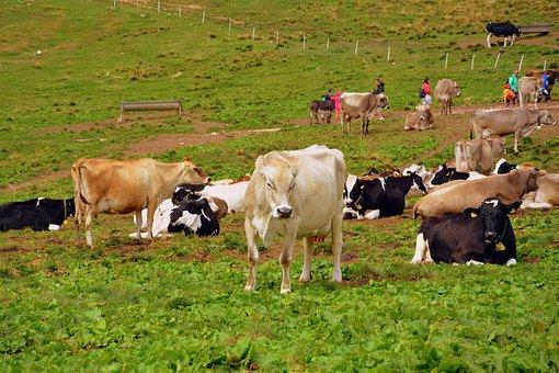 Cow, Prato, Mountain, Pasture, Animals, Cows, Livestock