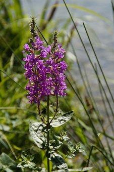 Wetland, Bank, Shore Plant, Bloom, Close, Pink, Flora