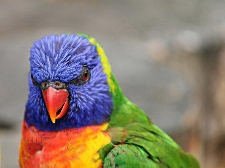 Parrot, Lorikeet, Trichoglossus Rainbow, Bird, Blue