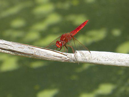 Red Dragonfly, Dragonfly, American Cane, Pond, Wetland