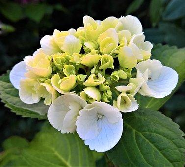 Plant, Hydrangea, Blossom, Bloom, Flower, Flower Buds