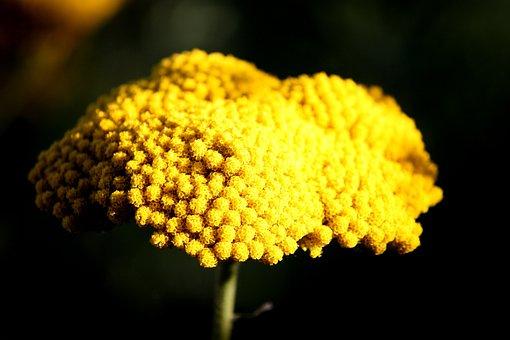 Flower, Fernleaf, Medicinal Plant, Yellow Yarrow