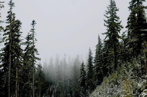 Fir Trees, Forest, Mist, Snow, Nature, Pine, Evergreen