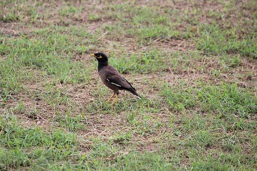 Myna, Bird, Ground, Grass