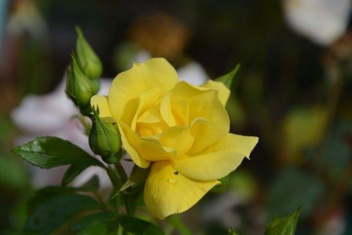 Yellow Rose, Rosebuds, Jardiniere, Pot, Nature