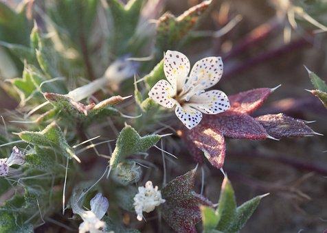 Lilac Sunbonnet, Langloisia Setosissima, Wildflower